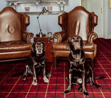 The resident chocolate labradors at the Woodlands Hotel in Sidmouth